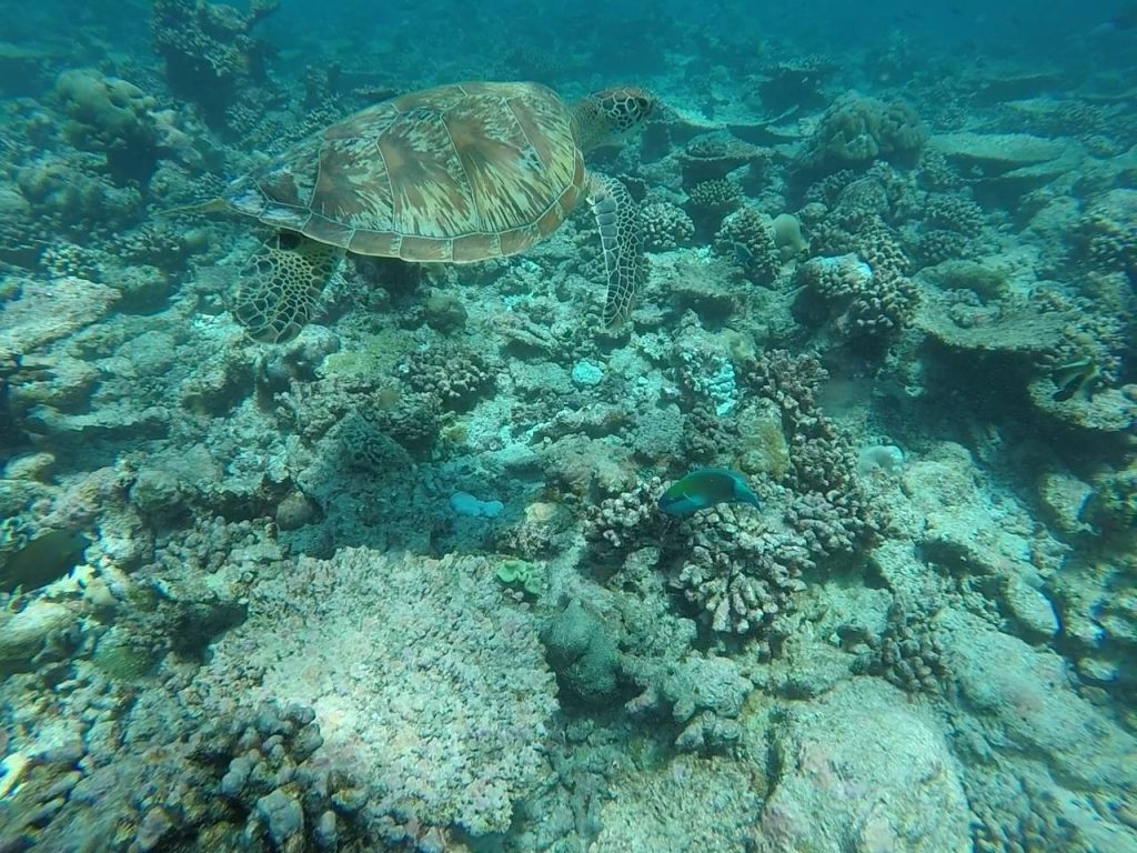 snorkel with green turtle