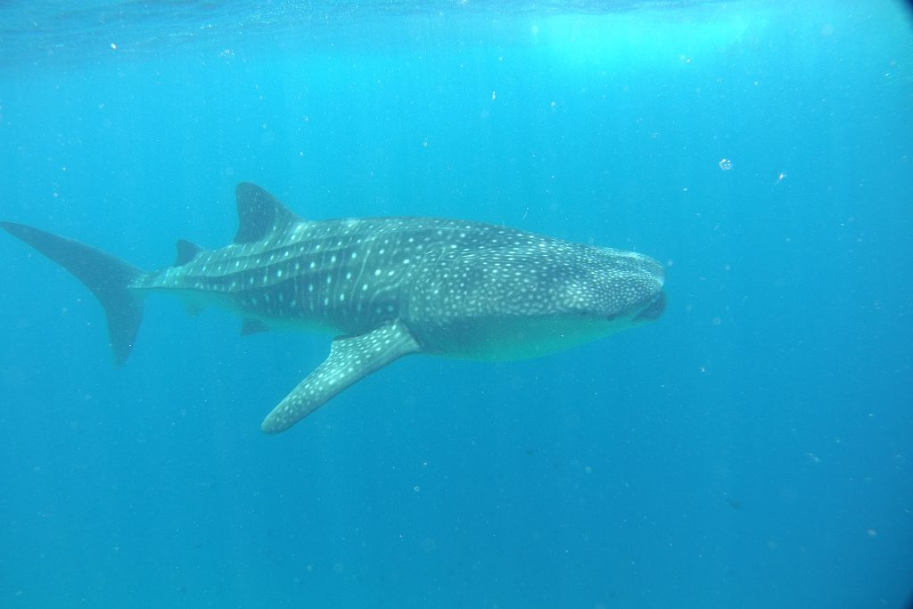 whale shark discovery at lux maldives